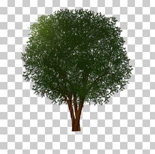 Branch Shrub Muntingia Calabura Tree Trunk PNG