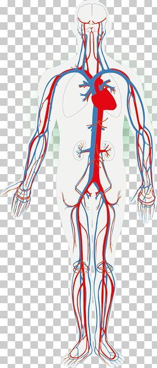 Circulatory System Human Body Organ System Anatomy The Cardiovascular System PNG