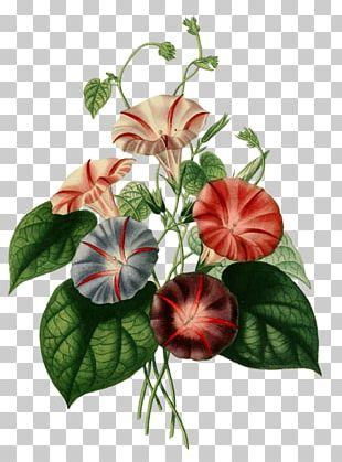 Botany Flora Japonica Botanical Illustration Flower Floral Design PNG