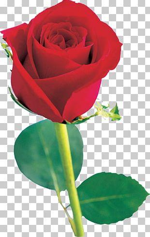 Beach Rose Flower Red Garden Roses Pink PNG