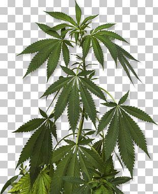 Cannabis Sativa Marijuana Cannabidiol Medical Cannabis PNG