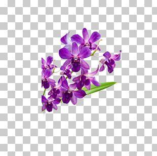 Violet Moth Orchids Flower Petal PNG