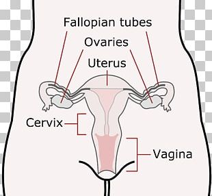 Female Reproductive System Menstruation Menstrual Cycle Child Uterus PNG