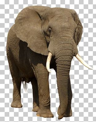 African Bush Elephant Indian Elephant Trophy Hunting PNG