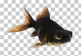 Black Telescope Fantail Common Goldfish Comet Shubunkin PNG