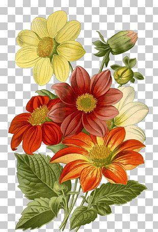 Botanical Illustration Drawing Flower Vintage Print Art PNG