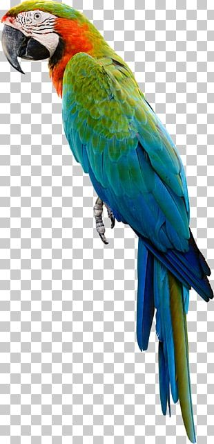 Amazon Parrot Bird Cockatiel Budgerigar PNG