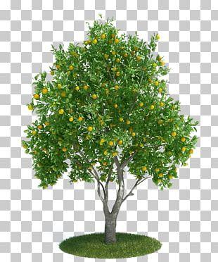 Citrus × Sinensis Tangerine 3D Modeling 3D Computer Graphics PNG