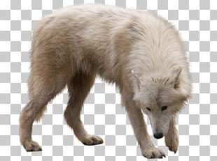 Arctic Wolf Utonagan Arctic Fox PNG