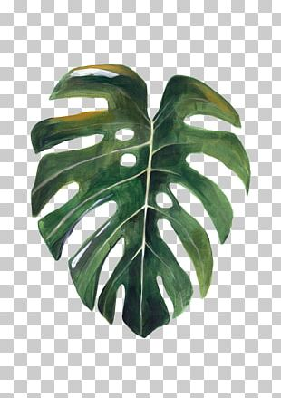 Paper Leaf Swiss Cheese Plant Watercolor Painting Drawing PNG