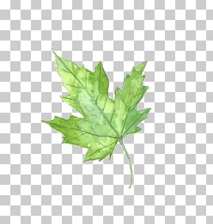 Maple Leaf Watercolor Painting PNG