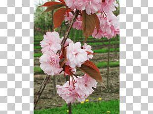 Tree Japanese Snowbell Nursery Shrub Cherry Blossom PNG