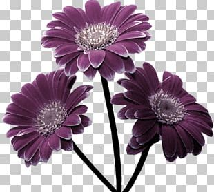 Transvaal Daisy Cut Flowers Chrysanthemum Garden Roses PNG