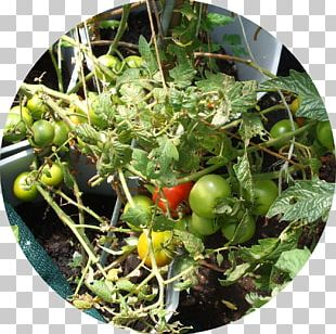 Bush Tomato Green Waste Compost Food PNG
