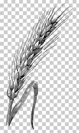 Drawing Wheat Watercolor Painting Sketch PNG