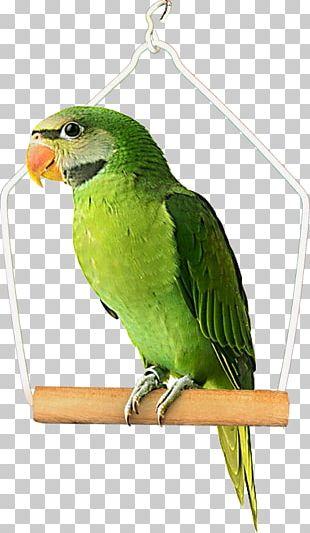 Bird Budgerigar True Parrot PNG