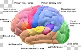 Cerebral Cortex Broca's Area Lobes Of The Brain Wernicke's Area PNG
