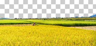 Paddy Field Rice Oryza Sativa PNG