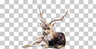 Reindeer White-tailed Deer Elk Antler PNG