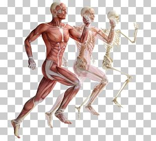 Skeletal Muscle Human Skeleton Muscular System PNG