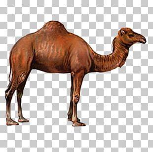 Camel Drawing PNG