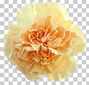 Carnation Perri Farms Wholesale Garden Roses Cut Flowers PNG
