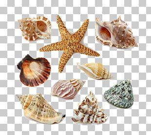 Seashell Stock Photography PNG