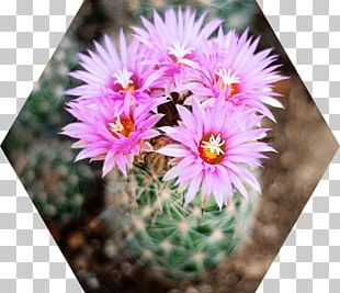 Cactus Flowers Mammillaria Saguaro Succulent Plant Strawberry Hedgehog Cactus PNG