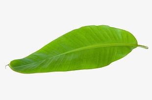 Tropical Banana Leaves PNG