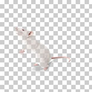Laboratory Rat Mouse Cat Whiskers PNG