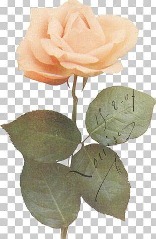 Garden Roses Cabbage Rose Leaf Petal Plant Stem PNG