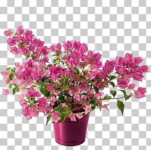 Flower Mother's Day Azalea Bougainvillea Plant PNG