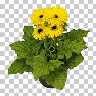 Transvaal Daisy Sunflower M Cut Flowers Annual Plant PNG