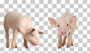 Miniature Pig Wild Boar The Sheep-Pig Stock Photography PNG