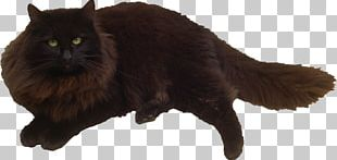 Black Cat Felidae Kitten Whiskers PNG