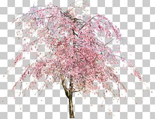 Tree Cherry Blossom Flower PNG