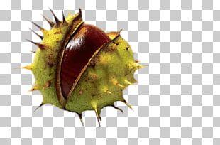 Horse Chestnut PNG