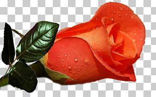 Rose Desktop Flower Display Resolution High-definition Television PNG