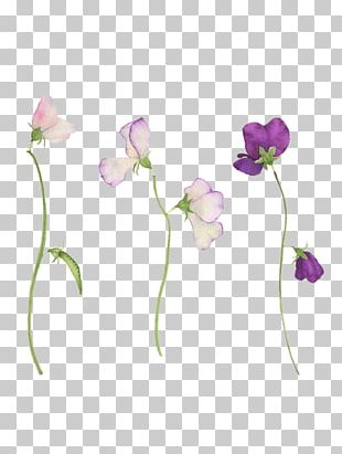 Sweet Pea Flower Tattoo Botanical Illustration PNG