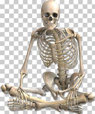 Human Skeleton Anatomy PNG