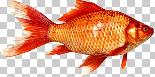 Goldfish Prussian Carp Fish As Food PNG