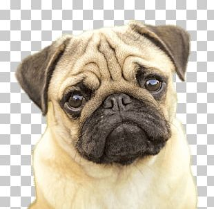 Pug Face PNG