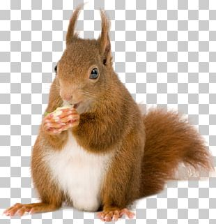 American Red Squirrel Rodent European Pine Marten Tree Squirrel PNG
