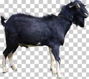 Jamnapari Goat Boer Goat Ahuntz Kalahari Red Cattle PNG