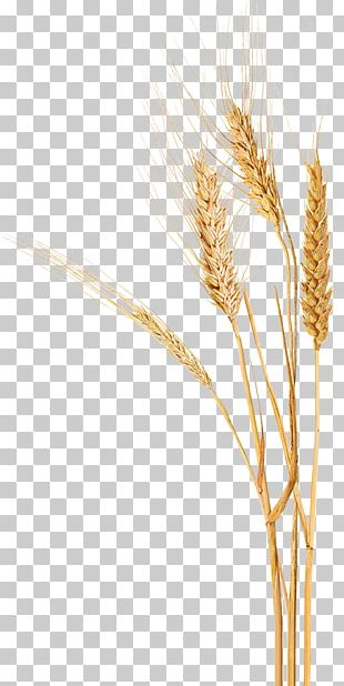 Dog Emmer Durum Einkorn Wheat Triticale PNG