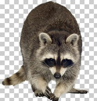 Raccoon Dog Rodent PNG