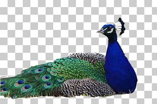 Pavo Bird Asiatic Peafowl PNG