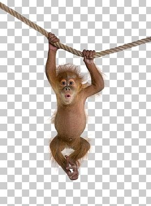 Macaque Monkey PNG