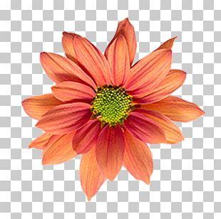 Flower Nelumbo Nucifera Lotus Cars Dahlia PNG