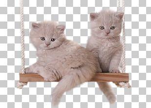 Kitten European Shorthair Birthday Dog PNG